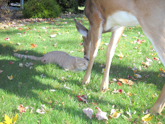 Cat and Deer - deer sniffing top of cat's head