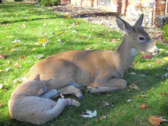 Cat and Deer - deer lying down, cat washing or sniffing it
