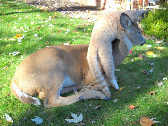 Cat and Deer - deer lying down, cat climbing around deer's shoulder